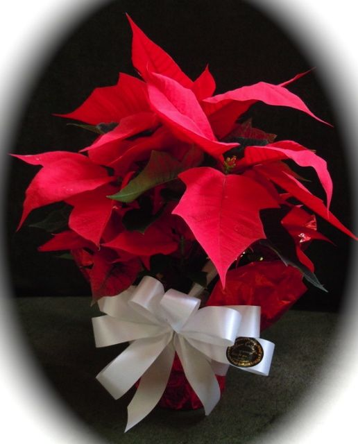 flowercottagecortez-poinsettia-matte
